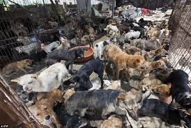 Dogs At Dinner Table Angels Of Yulin U0027 Rescue 1 000 Dogs Destined For The Dinner Table