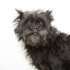 affenpinscher for adoption affenpinscher dogs for adoption in san diego ca usa