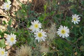 new york native plants california chicory native plants csu channel islands