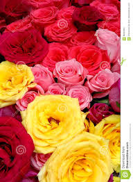 Colored Roses Multi Colored Roses Stock Photo Image 88402852