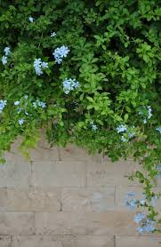 light blue flowers wall and green plants with light blue flowers stock photo