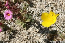 anza borrego wildflowers anza borrego desert state park wildflowers hikespeak com