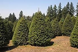 douglas fir tree tree 500 seeds garden