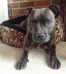 american pitbull terrier size chart staffordshire bull terrier dog breed information and pictures