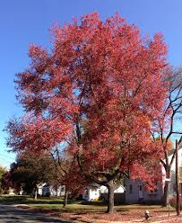 native plants of new jersey acer rubrum wikipedia