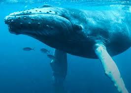 pic of a whale wallpaper download cucumberpress com