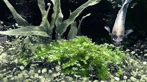 Aquascape Aquarium Plants Christmas Moss Aquascape Aquatic Plants To Nano Tanks Youtube