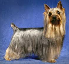 silky terrier hair cut silky terrier information facts pictures training and grooming
