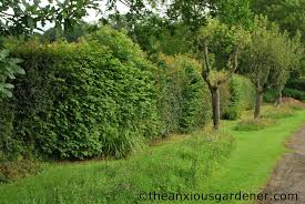 native hedging plants cutting the mixed hedging the anxious gardener