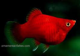 tropical platy fish care in aquarium tank ornamental aquarium fish
