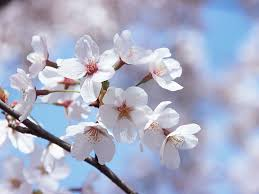 morning blossom wallpapers japanese cherry blossom wallpaper wallpapersafari