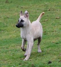 belgian shepherd x greyhound alaska 6 month old male belgian shepherd cross cutedogs cute