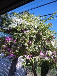 Tropical Climbing Plant - free stock photo 4891 tropical climbing flowers freeimageslive