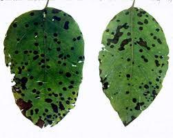 quince leaf spot pacific northwest pest management handbooks