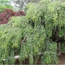 betula pendula youngii youngs weeping birch tree