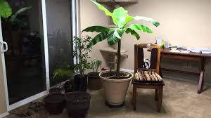 how to grow a large banana plant indoors youtube
