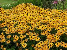 best 25 yellow perennials ideas on pinterest yellow flowers