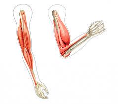 Bicep Innervation Bicep Muscles Anatomy Biceps Brachii Muscle Origin Insertion Amp