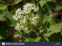 Tree With Little White Flowers - plant with small white flowers and big green leaves note shallow