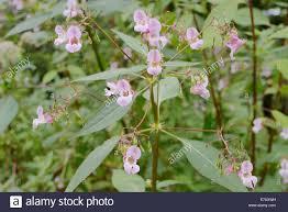 invasive non native plants himalayan balsam impatiens glandulifera invasive introduced non