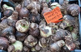 amsterdam amaryllis bulbs in a market