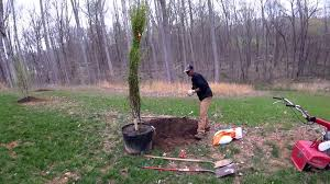 how to plant large potted trees