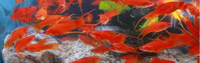 seylon aquatics aquatic fish in sri lanka
