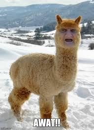Wat Lady Meme - wat alpaca imgflip