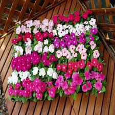 vinca flower vinca solar mix f1 harris seeds