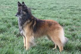 belgian sheepdog and cats belgian tervuren history personality appearance health and pictures