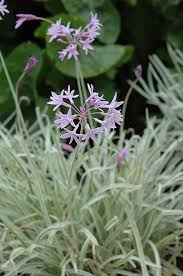 tricolor variegated society garlic tulbaghia violacea tricolor