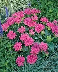 Flower Balm - pardon my pink u0027 bee balm monarda didyma proven winners