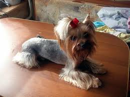 tea cup yorkie hair cuts 50 damn cute yorkie haircuts for your puppy hairstylec
