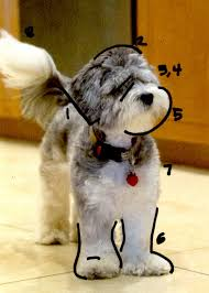 bedlington terrier shaved how to groom a labradoodle labradoodle haircut