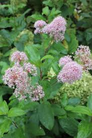native plants of new jersey marie rose new jersey tea ceanothus x drought tolerant