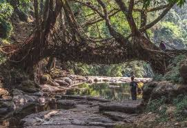 check out these amazing living bridges