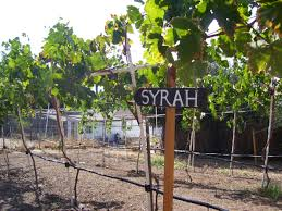 16 best backyard vineyard images on pinterest grape vines
