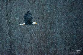 the bald eagles of squamish charles davis photography