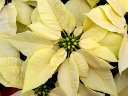 poinsettias facts and fiction interior office plants