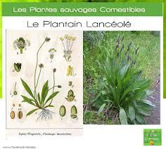 cuisiner le plantain les plantes sauvages comestibles le plantain lancéolé so bio