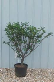 buy ornamental trees and shrubs from hopes grove nurseries