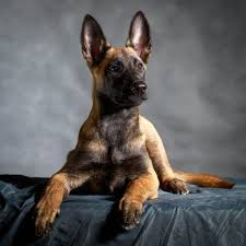 belgian malinois dog the belgian malinois as a family protection companion with the