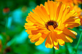 Marigolds Shade by Calendula Flower How To Grow Calendulas