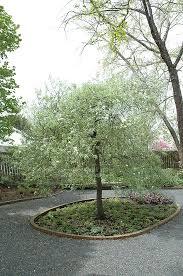 silver weeping willowleaf pear pyrus salicifolia silver