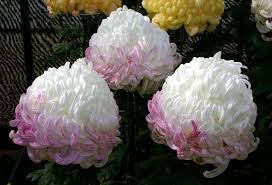 japanese chrysanthemum flower festivals kiku matsuri