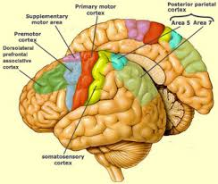 Anterior Association Area Cerebral Hemispheres The Central Nervous System