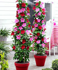 buy 2 chilean jasmine with red flowerpot bakker com