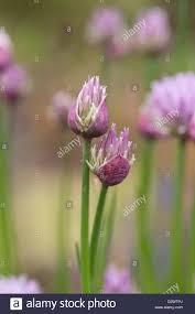 fleurs de ciboulette en cuisine allium schoenoprasum ciboulette fleurs ouverture seulement utilisé