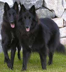 belgian sheepdog of america 527 best the belgian sheepdog images on pinterest belgian