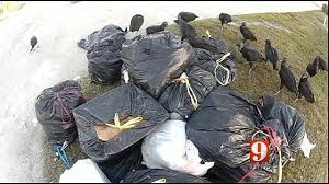 ponce inlet thanksgiving trash is feast for flock of turkey